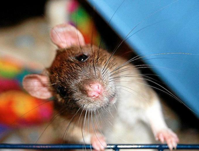 гамаки для крыс своими руками подробная инструкция