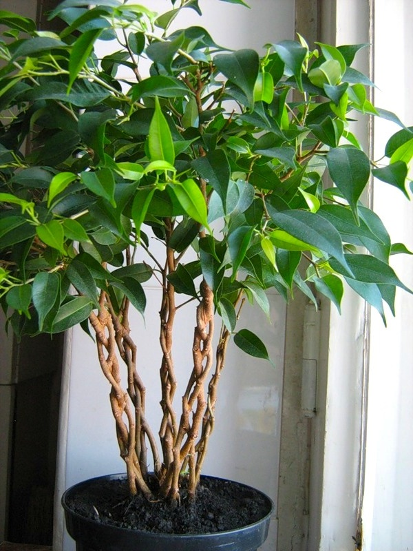 How to twist the ficus