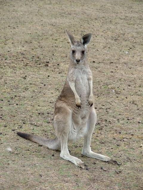 Как собрать кенгуру