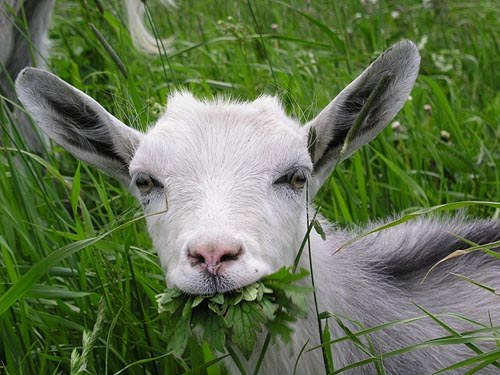 как расширить маленькое отверстие соска у козы