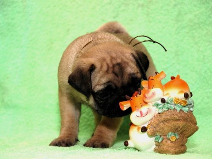 Как кормить щенка мопса