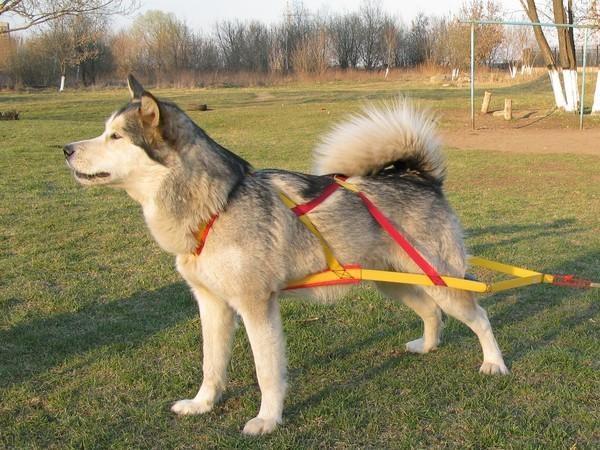 как одеть шлейку на собаку крест на спине
