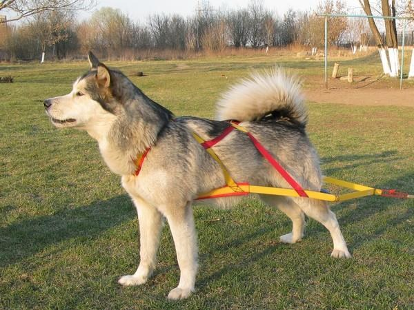 Шлейка тяговая для собак