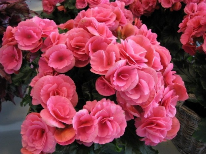 How to water begonia