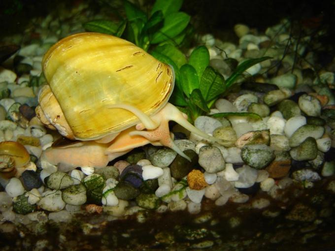 разведение аквариумных улиток в домашних условиях амнулных