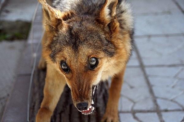 как понять што у собаки бешенство
