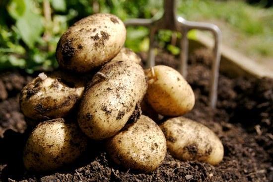 Как хранить картофель зимой