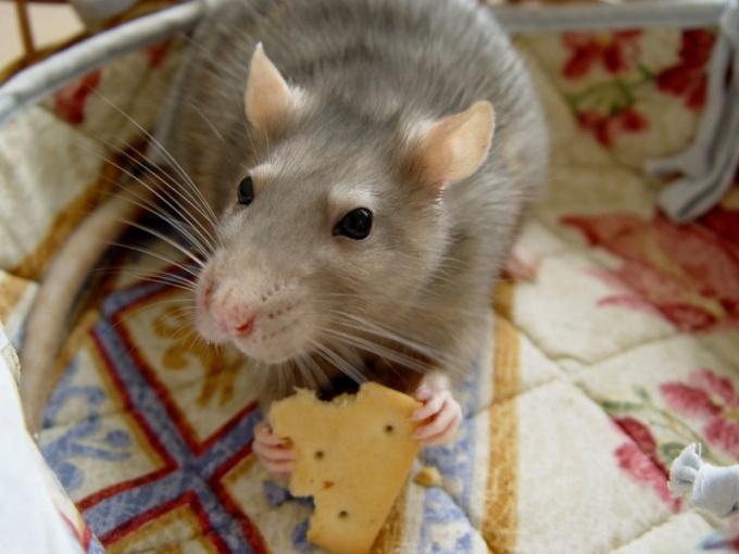 Как отличить самца от самки крысы
