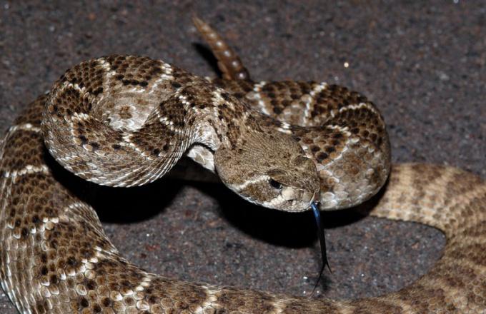 Как отличить ядовитую змею