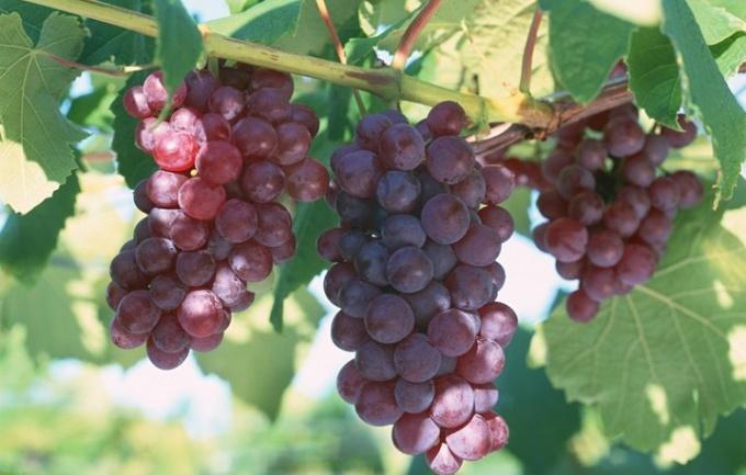 Как посадить виноградник