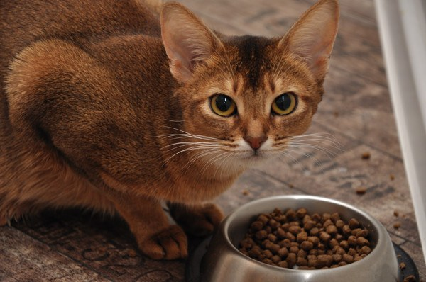 How to teach a cat is dry food