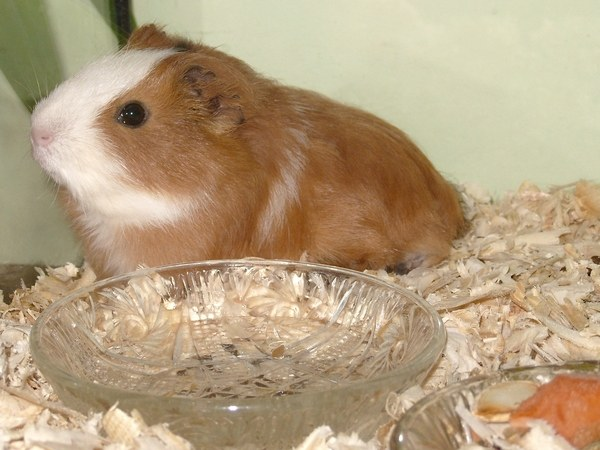How to distinguish a Guinea pig on the floor
