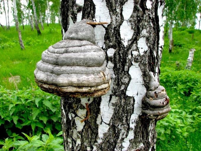 Как приготовить гриб чага