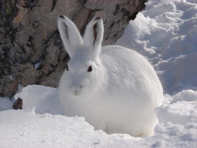Как правильно ставить петли на зайца