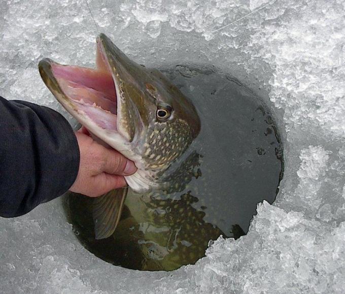 Как ловить рыбу зимой на течении