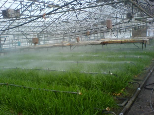 Как вырастить зеленый лук в теплице
