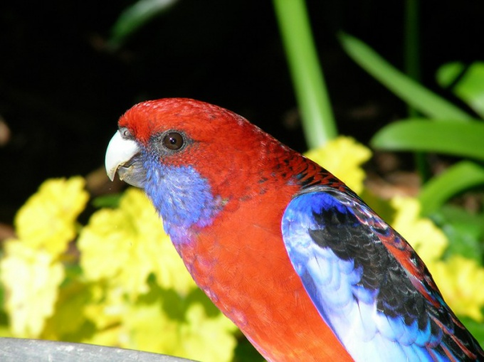 Как научить попугая-девочку разговаривать