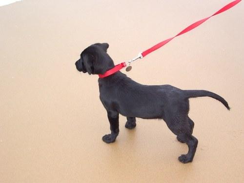 как научить собаку ходить рядом с поводком