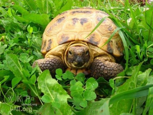 Как накормить черепаху