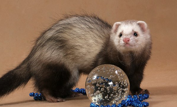 How to train a ferret