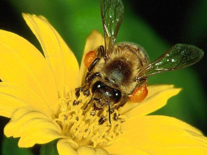 Как добывать пчелиный яд