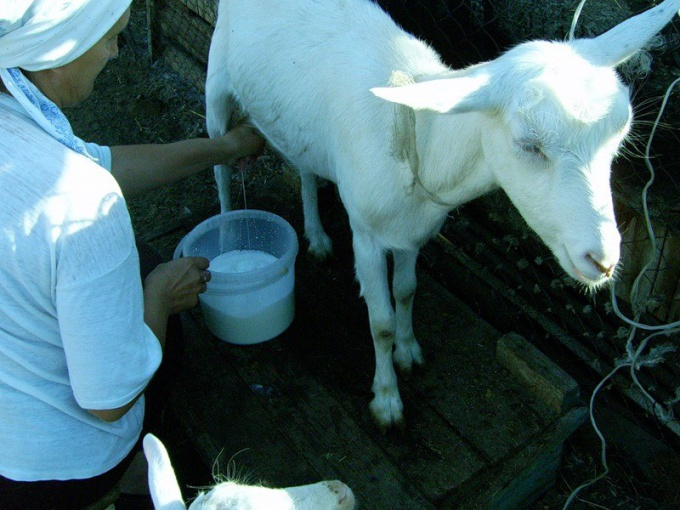 How to give an infant goats milk