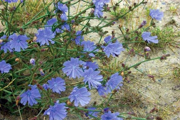 How to plant chicory