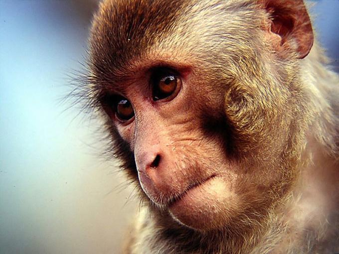 куплю обезьянку