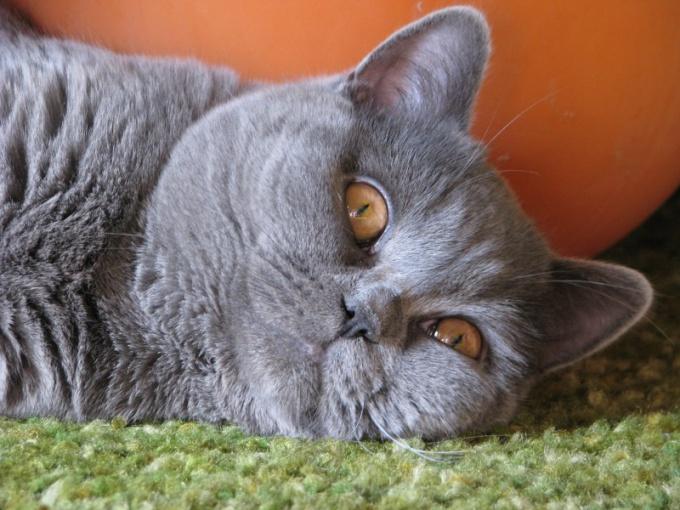 Как облегчить течку кошке