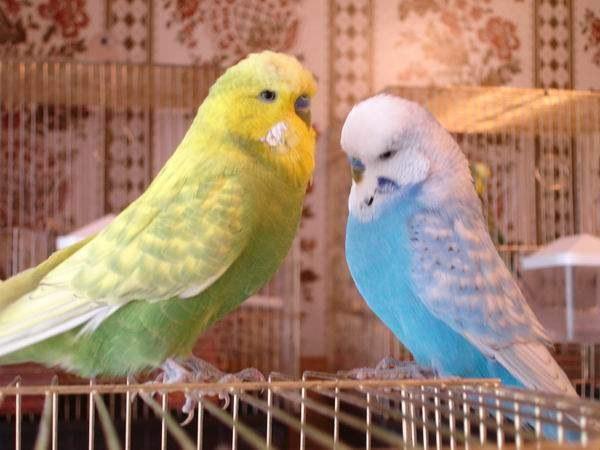как научить попугая летать по дому