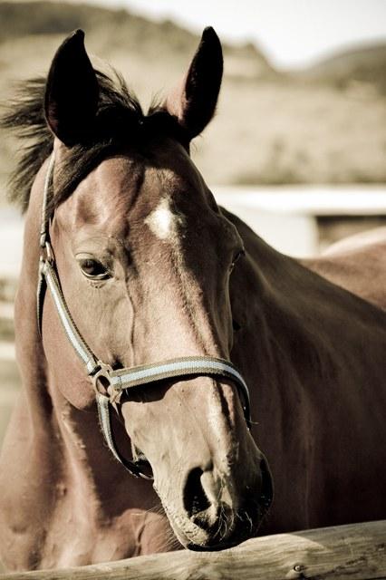 Как нарисовать морду лошади