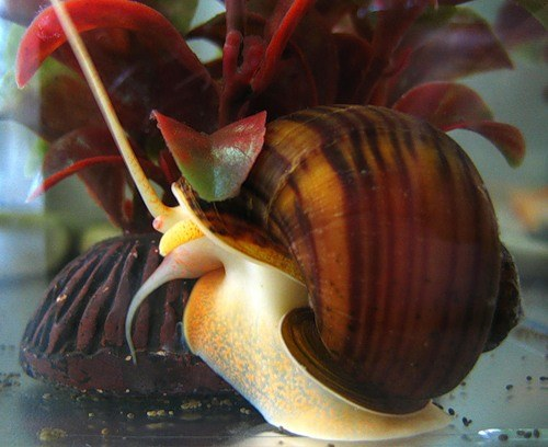 How to care for aquarium snail