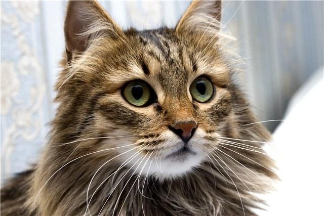 уход за сибирским котенком