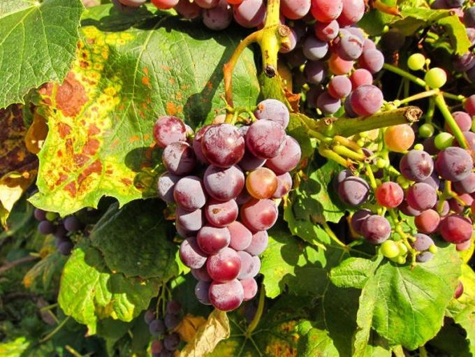 Как бороться с болезнями винограда