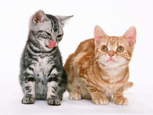 как купить котенка
