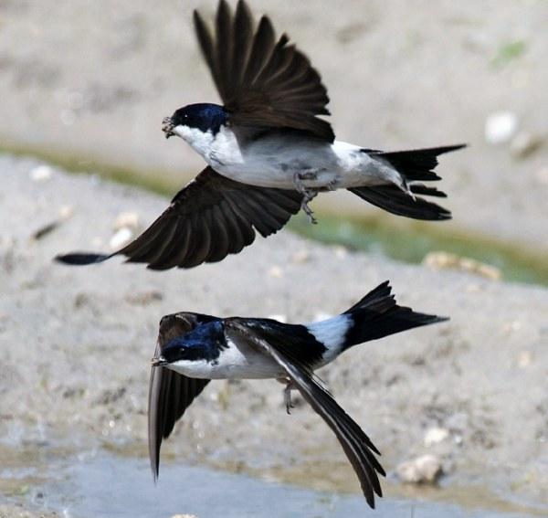 Почему ласточки низко летают