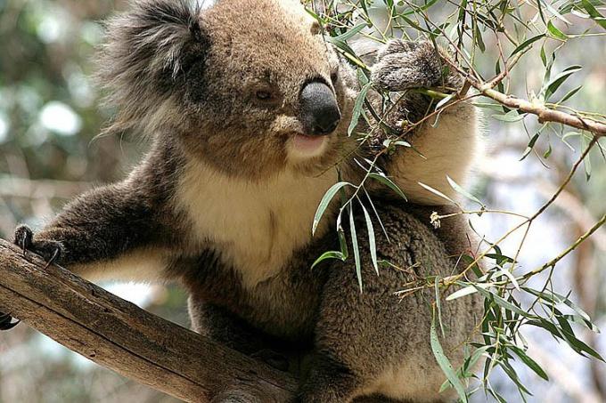 Почему исчезают коалы