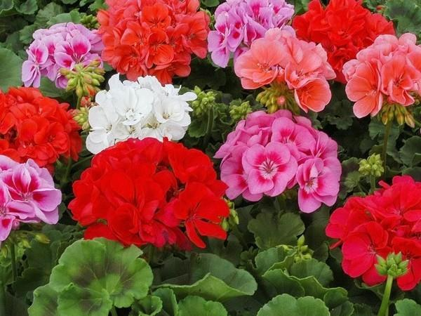 How to prune geraniums