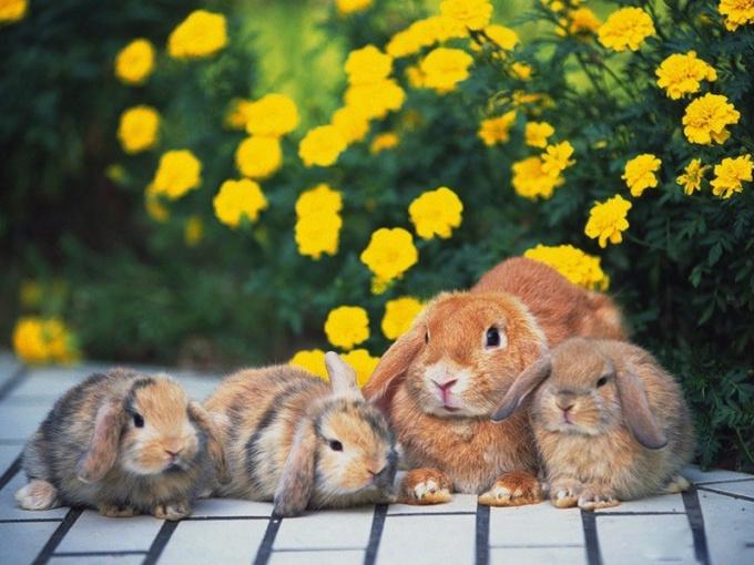 как проверить не беременная крольчиха