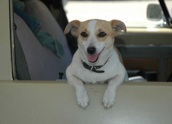 как приучить собаку к машине