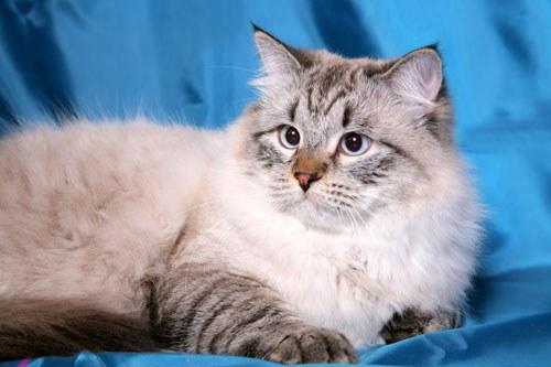 Как кормить сибирскую кошку
