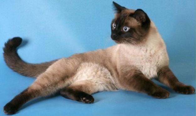 как ухаживать за тайской кошкой