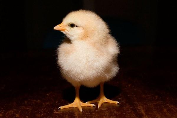 Как рисовать цыпленка