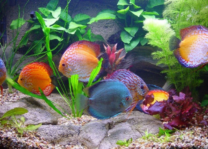 аквариум с золотыми рыбками мутнеет