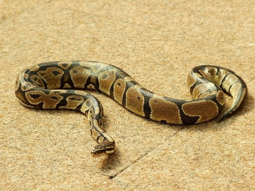 Why yawns Python