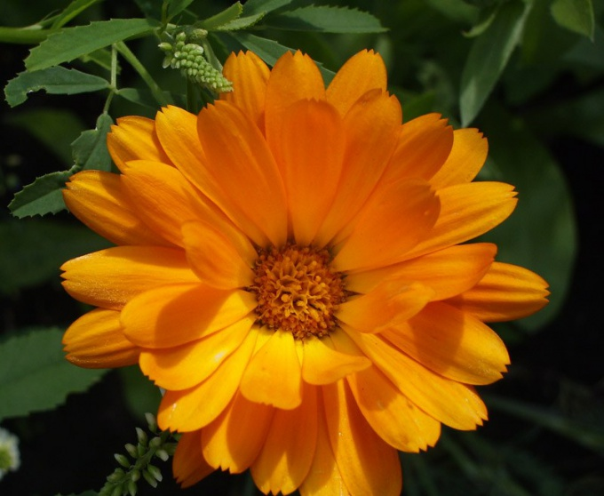How to make a tincture of calendula