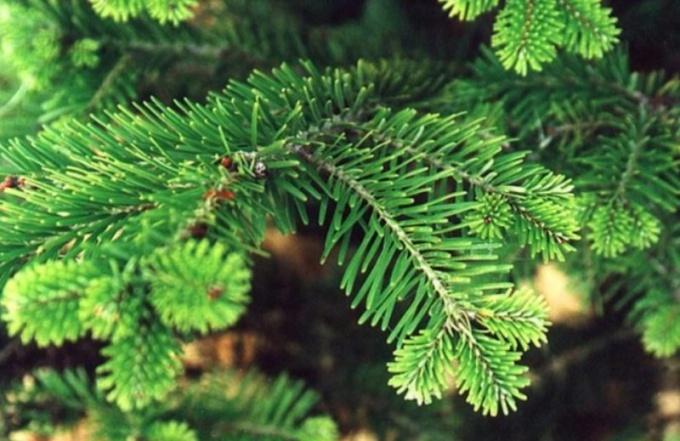 Как выбирают елку: ищем свою лесную красавицу