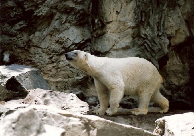 Почему медведь зимой лапу сосет