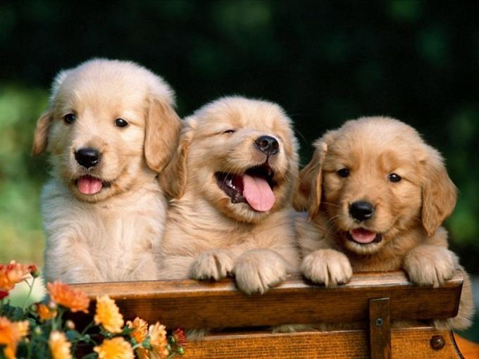 Почему собаки высовывают язык