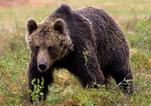 Как принимать медвежью желчь